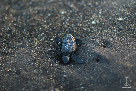 releasing baby turtles.
