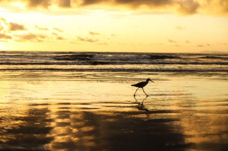 A sand piper paces through the beach in search of food. I spent the most effort and time trying to get close enough to this bird, who refused to honor my effort.
